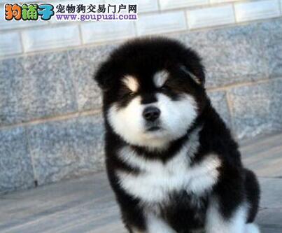 高品质纯种阿拉斯加幼犬大阿上海市出售