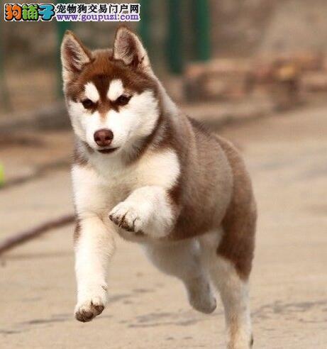 贵阳自家繁殖哈士奇雪橇犬 可微信看狗 签订协议有保障