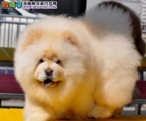 基地直销好品质杭州松狮犬售后保障全面签合同3