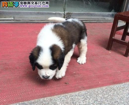 圣伯纳犬的幼犬饲养方法
