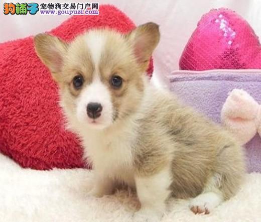 深圳出售健康的小短腿威尔士柯基犬 纯种健康保障