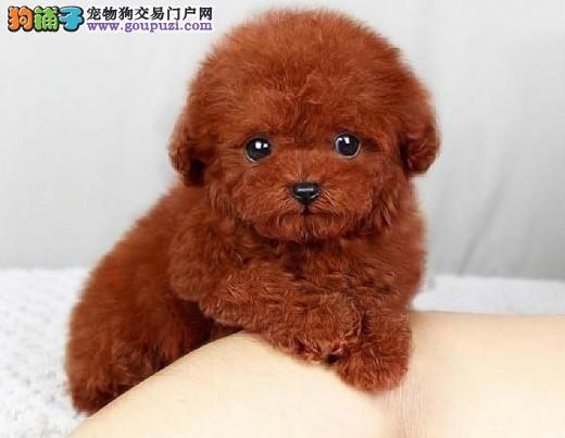 武汉茶杯犬 袖珍犬 迷你犬 珍珠犬纯种健康