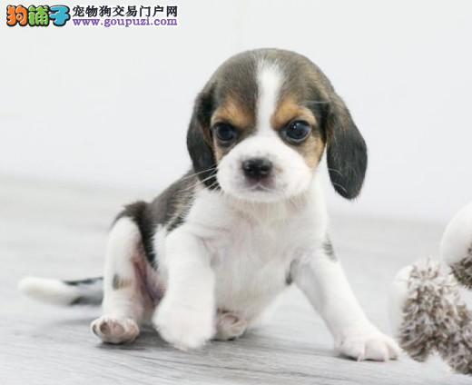 适合老人饲养的比格犬需要具备哪些特点
