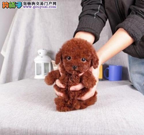 深圳哪里有出售茶杯犬,茶杯犬有多小?