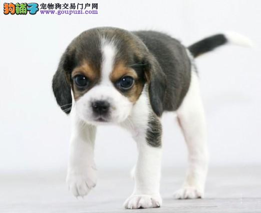 出售多种颜色宿迁纯种比格犬幼犬我们承诺售后三包