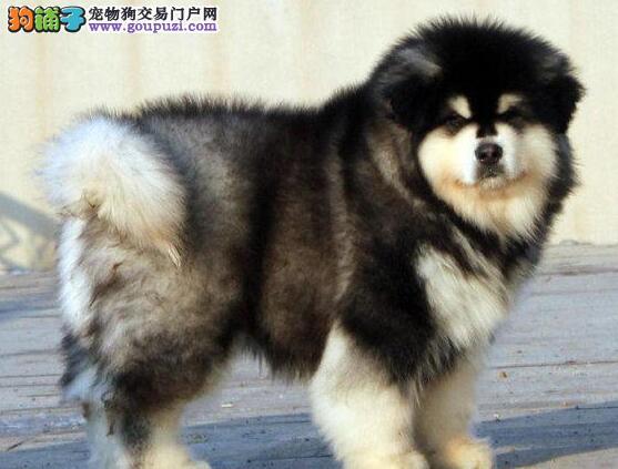 顶级优秀纯种成都阿拉斯加雪橇犬热销中 可放心购买