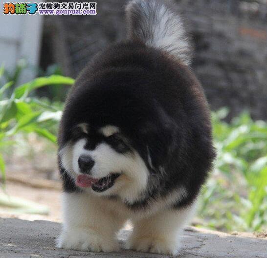 出售阿拉斯加犬幼犬,保证品质一流,购犬可签协议