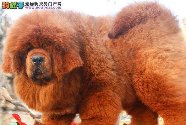 出售狮子王大头版爆毛量的呼和浩特藏獒 多只幼犬供选