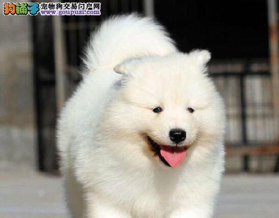 温州自家萨摩耶犬幼犬出售 可看父母 可上门挑选