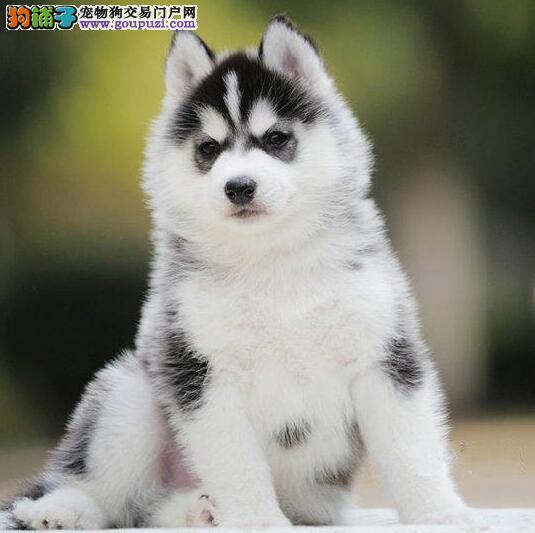 深圳哈士奇幼犬出售送狗上门可看视频 签质保协议