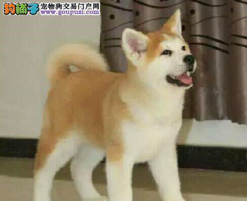 福州大型犬舍热销精品日系秋田犬 可签署终身质保协议