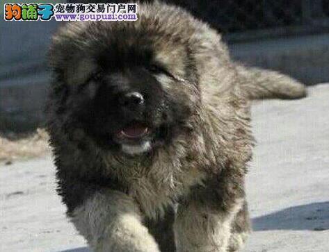 该如何去识别这只高加索犬是否咬人