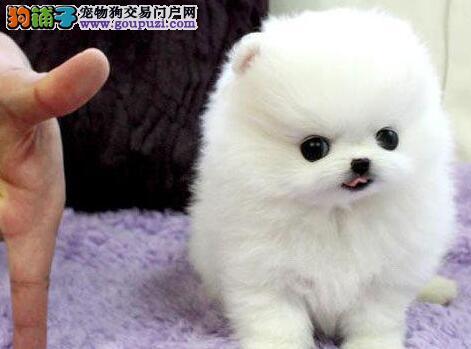 广元纯种活泼可爱哈多利版最小球体博美犬 茶杯体博美