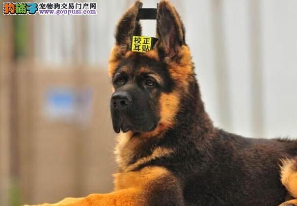 江西南昌出售德国牧羊犬价格优惠
