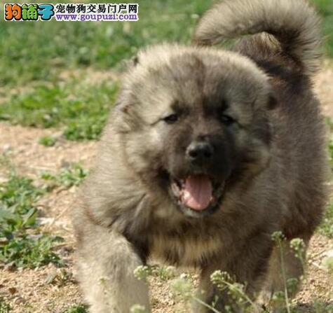 上海售纯种熊版大头版大骨架好毛量高加索幼犬多只选择