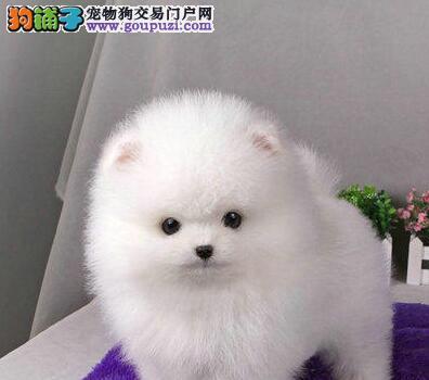 北京超萌俊介哈多利小体博美犬 黄白色都有包养活包纯