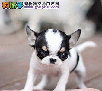 墨西哥袖珍吉娃娃幼犬 可见父母 签署协议 送货上门