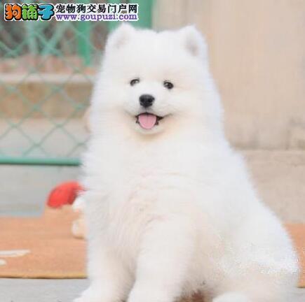 成都售微笑天使萨摩耶公狗幼犬小萨欢迎选购