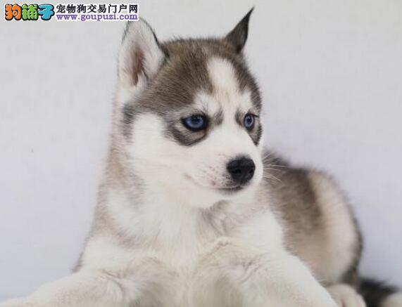 铜仁纯种哈士奇犬 三火蓝眼哈士奇雪橇犬出售品相好