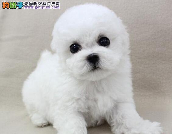 韩国引进大眼睛甜美脸型比熊犬毕节出售保健康质保终身