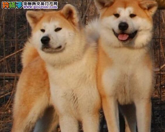 孝感双血统日本秋田犬出售血统纯正送用品签协议包养活