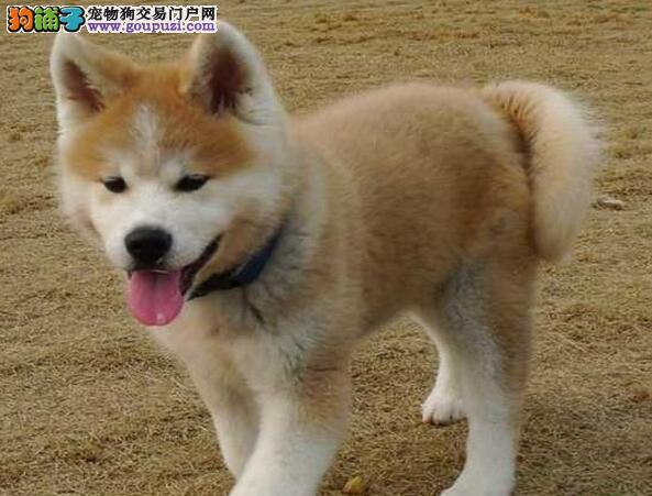 出售纯种南京赛级秋田幼犬,包健康纯种签协议包活