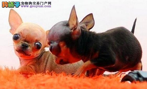大眼睛苹果头吉娃娃幼犬出售中 贵阳的朋友上门看狗