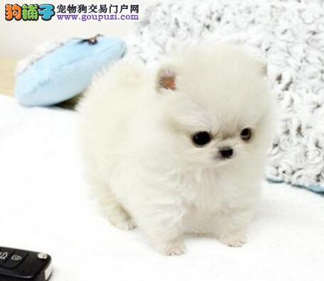 低价出售可爱纯种哈多利版昆明博美犬 可当面看狗议价