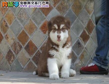 纯种幼犬阿拉斯加 大骨架雪橇犬、品相好 健康保证