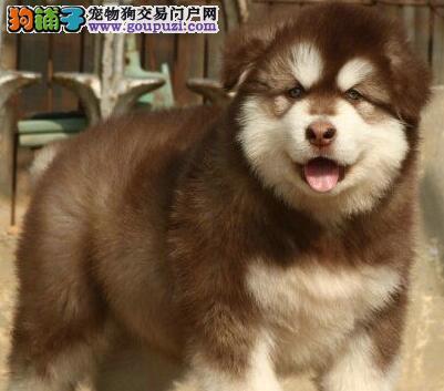 高品质阿拉斯加雪橇犬低价处理中 西安周边地区送货3