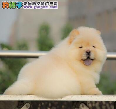 繁育基地转让哈尔滨松狮犬大毛量紫舌售后有保障