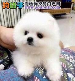 上海出售博美犬哈多利版博美纯正血统签协议质保三年