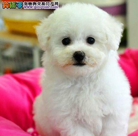 极品健康深圳比熊犬出售 可办理cku血统证书纯度极高
