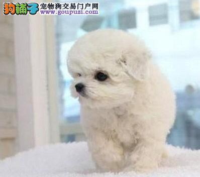 出售雪白色没有杂毛的包头比熊犬 可随时上门看种犬