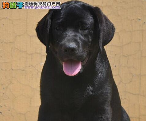 家养纯种长沙拉布拉多犬出售可见父母保健康