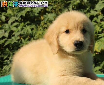 纯种金毛幼犬出售 双血统大骨架 长相好颜值高 欢迎来选