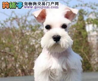 知名犬舍出售多只赛级雪纳瑞期待来电咨询