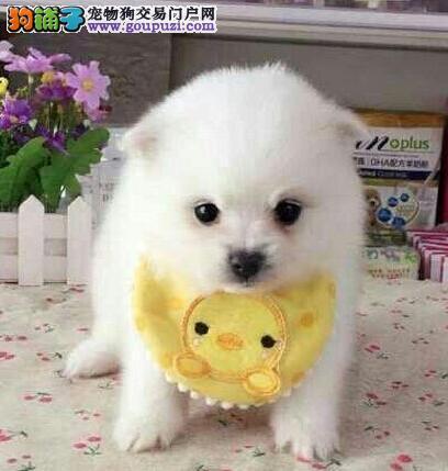 广州市出售博美犬 包纯种健康 协议质保 售后保障