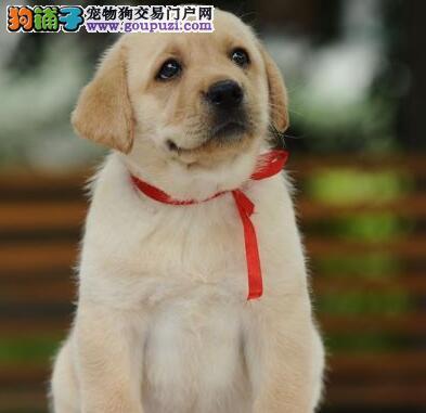 莆田售纯种神犬小七拉布拉多幼犬疫苗驱虫齐全包运费