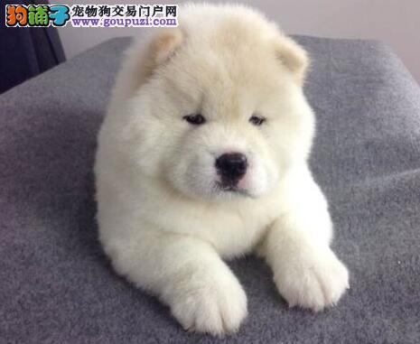 低价转让纯种九江松狮犬公母都有购买签订活体协议4
