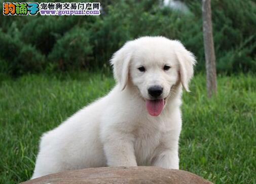 重庆出售大骨架赛级金毛犬 品质血统优 专业金毛养殖场