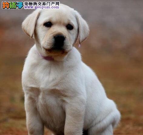 拉布拉多犬价格 多只可选可上门挑选免费饲养指导纯种