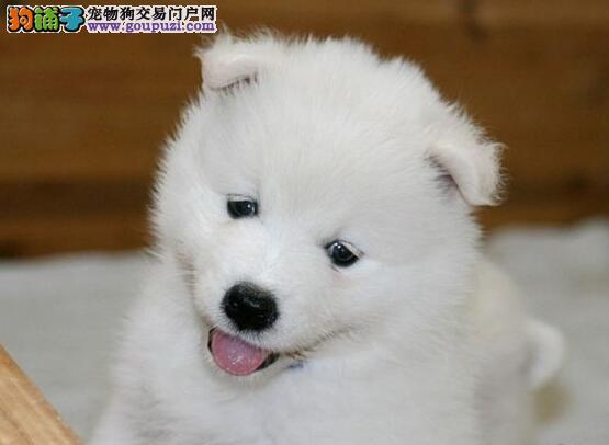 萨摩耶犬、大型狗场实体养殖、包纯种包养活