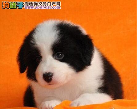 青岛自家繁殖边境牧羊犬出售公母都有签署质保合同1