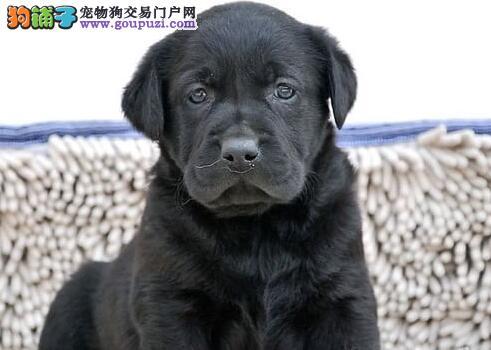精品拉布拉多幼犬一对一视频服务买着放心期待您的光临