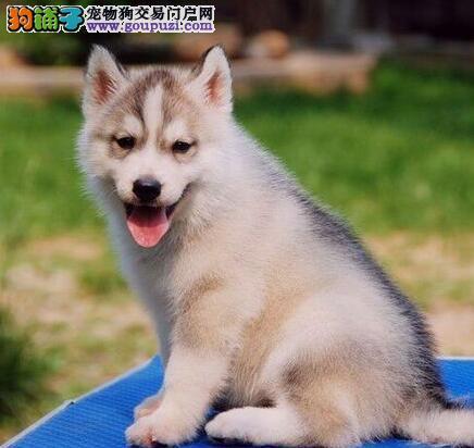 FCI国际犬舍繁殖纯种黑白哈士奇宝宝支持视频看狗