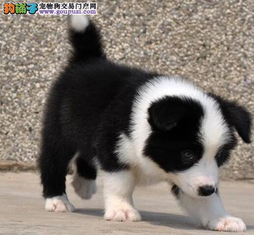 高智商极其聪明的广州边境牧羊犬热卖中 签订售后协议