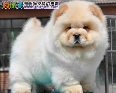 武汉松狮犬多少钱一只
