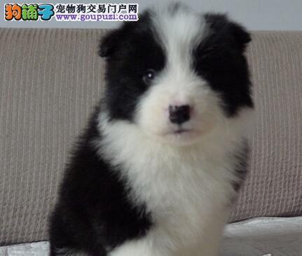 顶级优秀七白到位福州边境牧羊犬出售中 保证身体健康