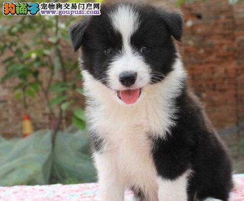 直销出售边境牧羊犬 有品质保证可来成都看狗狗父母